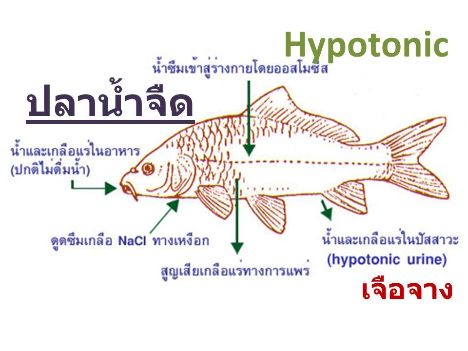 Hypotonic ปลาน้ำจืด เจือจาง