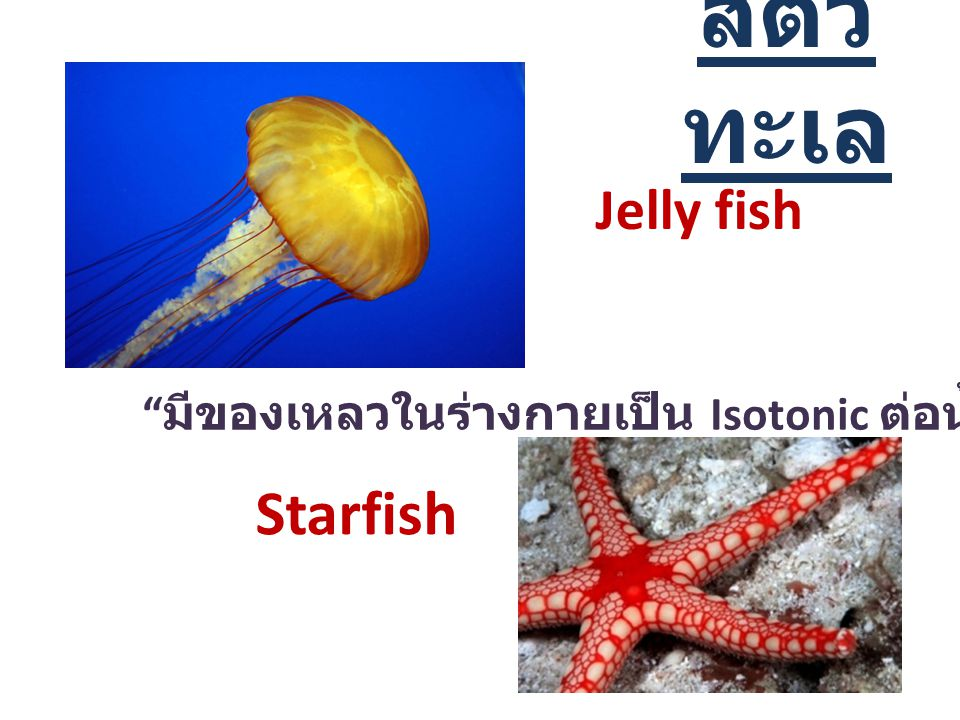 สัตว์ ทะเล Jelly fish Starfish มีของเหลวในร่างกายเป็น Isotonic ต่อน้ำทะเล