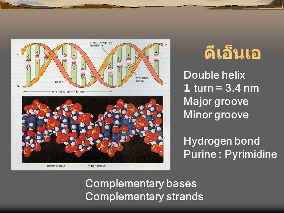 ดีเอ็นเอ Double helix 1 turn = 3.4 nm Major groove Minor groove Hydrogen bond Purine : Pyrimidine Complementary bases Complementary strands