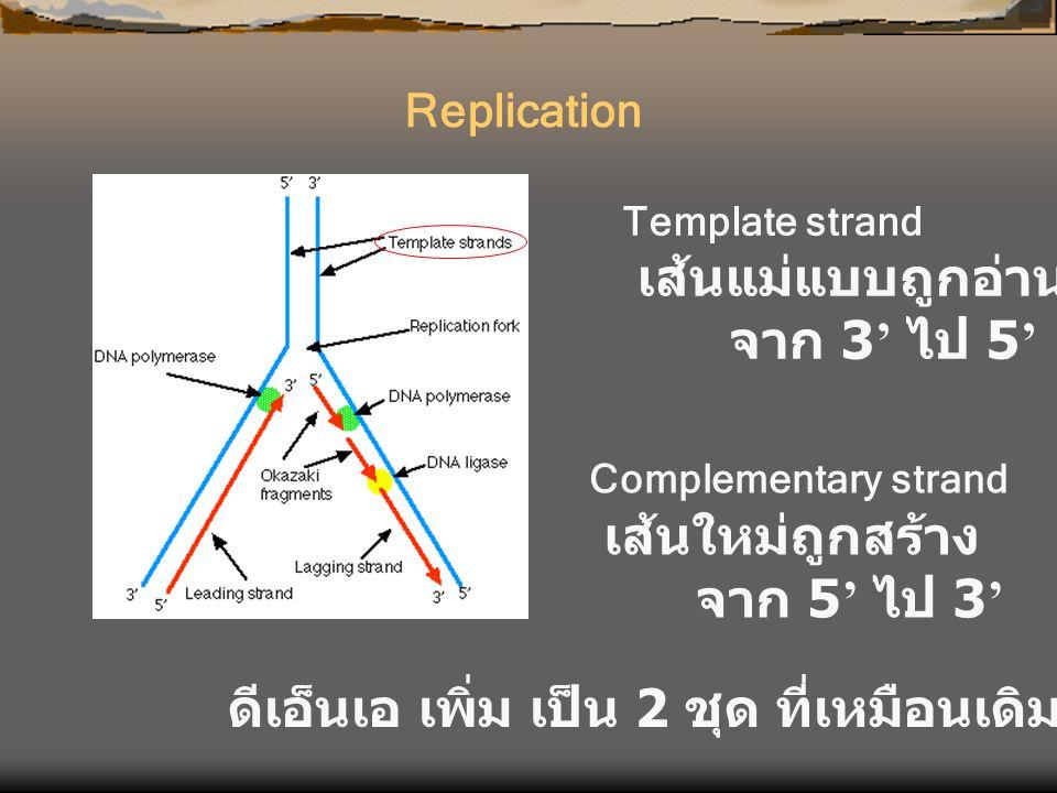 Template strand เส้นแม่แบบถูกอ่าน จาก 3 ' ไป 5 ' Complementary strand เส้นใหม่ถูกสร้าง จาก 5 ' ไป 3 ' ดีเอ็นเอ เพิ่ม เป็น 2 ชุด ที่เหมือนเดิม Replicat