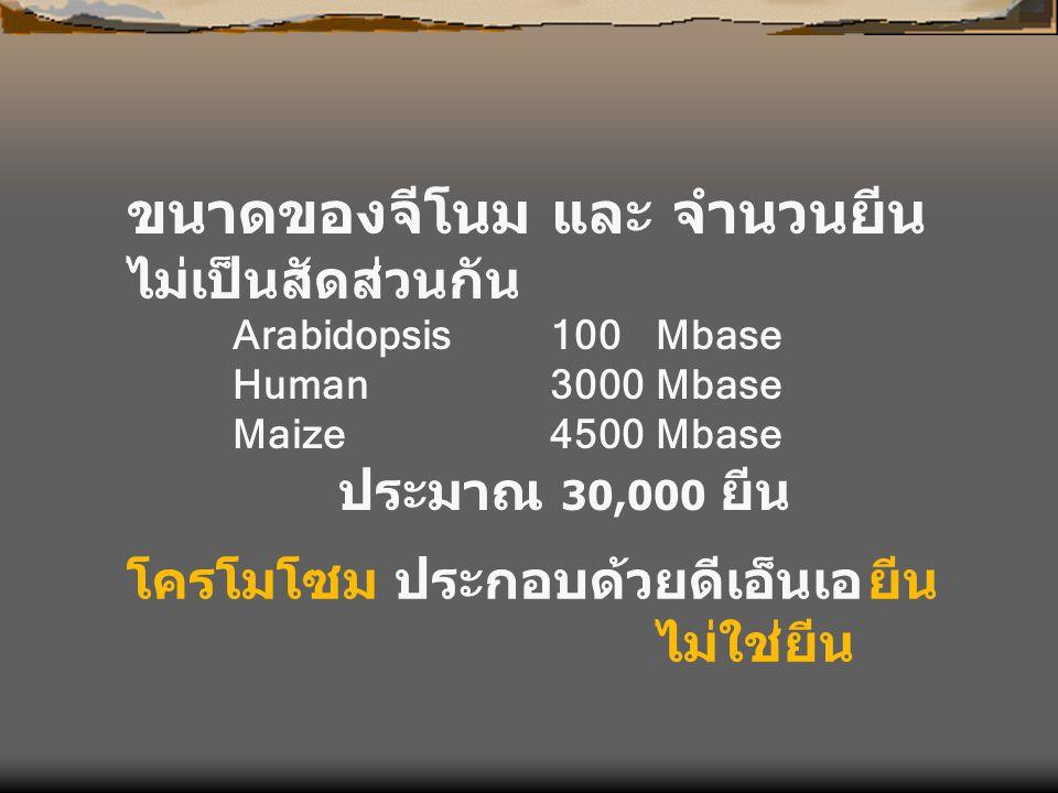 ขนาดของจีโนม และ จำนวนยีน ไม่เป็นสัดส่วนกัน Arabidopsis100 Mbase Human3000Mbase Maize4500Mbase ประมาณ 30,000 ยีน โครโมโซม ประกอบด้วยดีเอ็นเอยีน ไม่ใช่