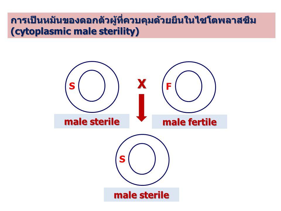 การเป็นหมันของดอกตัวผู้ที่ควบคุมด้วยยีนในไซโตพลาสซึม (cytoplasmic male sterility) S F X S male fertile male sterile