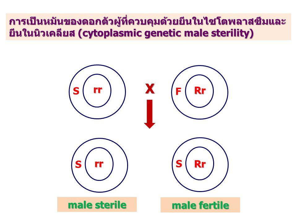 การเป็นหมันของดอกตัวผู้ที่ควบคุมด้วยยีนในไซโตพลาสซึมและ ยีนในนิวเคลียส (cytoplasmic genetic male sterility) SF X rr Rr SS rr Rr male fertile male sterile