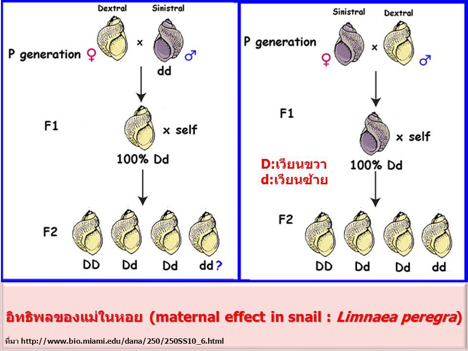 อิทธิพลของแม่ในหอย (maternal effect in snail : Limnaea peregra) D:เวียนขวา d:เวียนซ้าย ที่มา http://www.bio.miami.edu/dana/250/250SS10_6.html