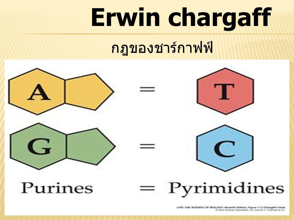 Erwin chargaff กฎของชาร์กาฟฟ์