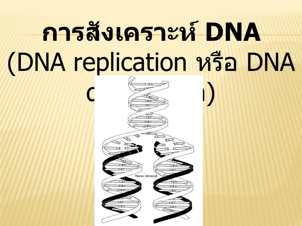 การสังเคราะห์ DNA (DNA replication หรือ DNA duplication)