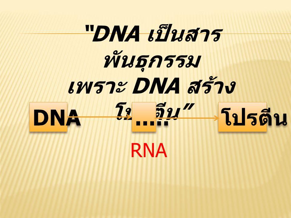 """""""DNA เป็นสาร พันธุกรรม เพราะ DNA สร้าง โปรตีน """" DNA..... โปรตีน RNA"""