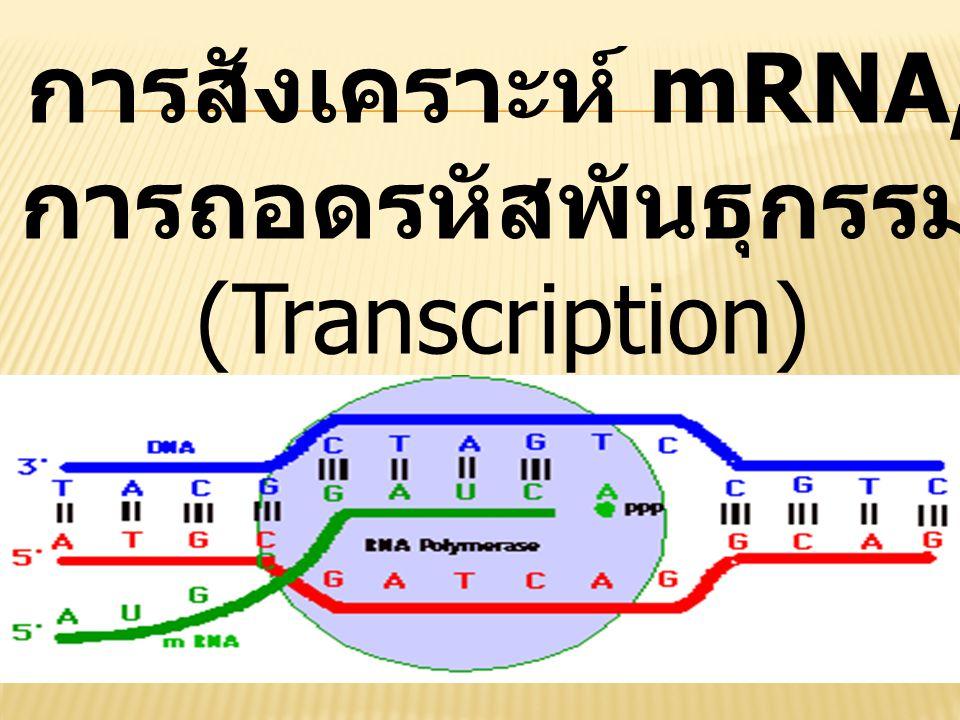 การสังเคราะห์ mRNA, การถอดรหัสพันธุกรรม (Transcription)