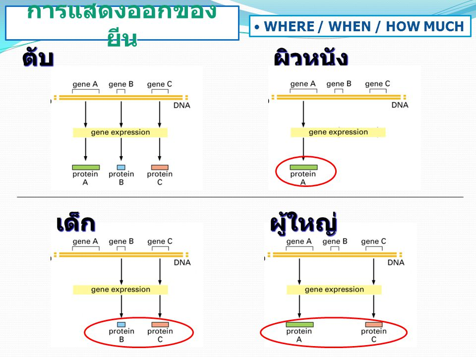 ตับผิวหนัง เด็กผู้ใหญ่ การแสดงออกของ ยีน WHERE / WHEN / HOW MUCH