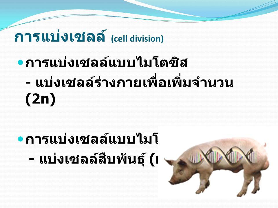 การแบ่งเซลล์แบบไมโตซิส - แบ่งเซลล์ร่างกายเพื่อเพิ่มจำนวน (2n) การแบ่งเซลล์แบบไมโอซิส - แบ่งเซลล์สืบพันธุ์ (n) การแบ่งเซลล์ (cell division)