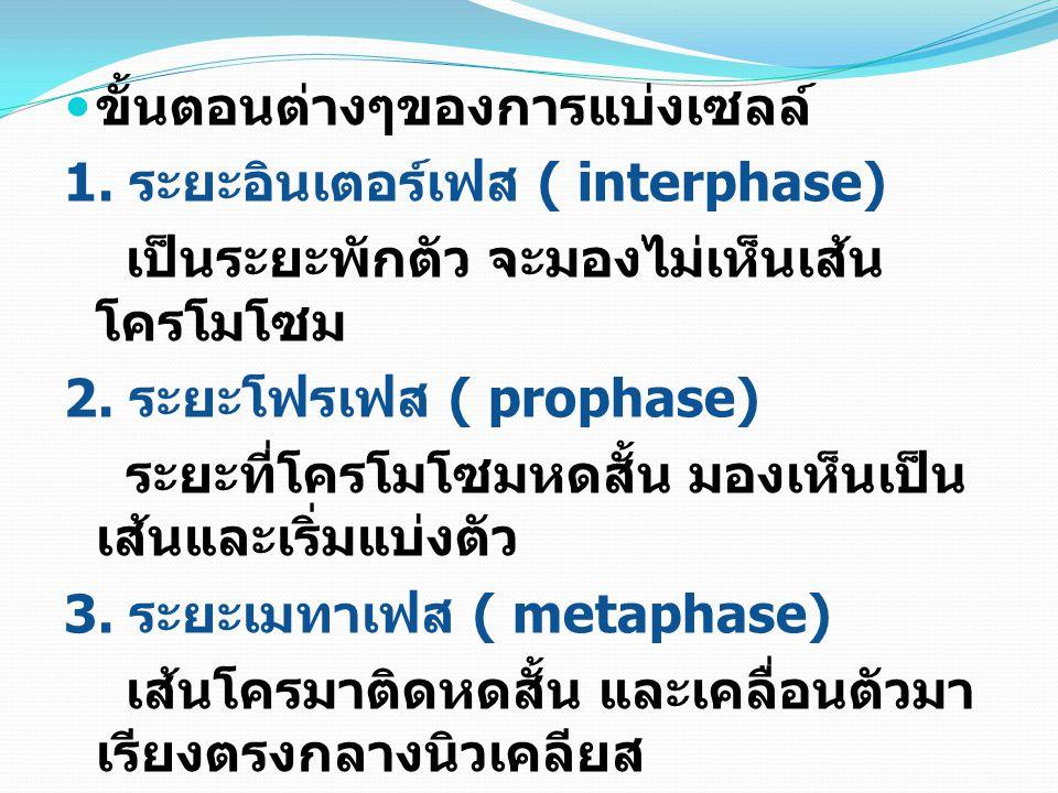 ขั้นตอนต่างๆของการแบ่งเซลล์ 1. ระยะอินเตอร์เฟส ( interphase) เป็นระยะพักตัว จะมองไม่เห็นเส้น โครโมโซม 2. ระยะโฟรเฟส ( prophase) ระยะที่โครโมโซมหดสั้น