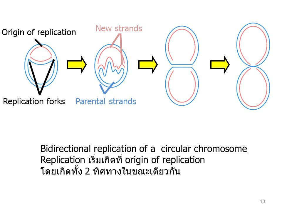 Bidirectional replication of a circular chromosome Replication เริ่มเกิดที่ origin of replication โดยเกิดทั้ง 2 ทิศทางในขณะเดียวกัน Origin of replicat