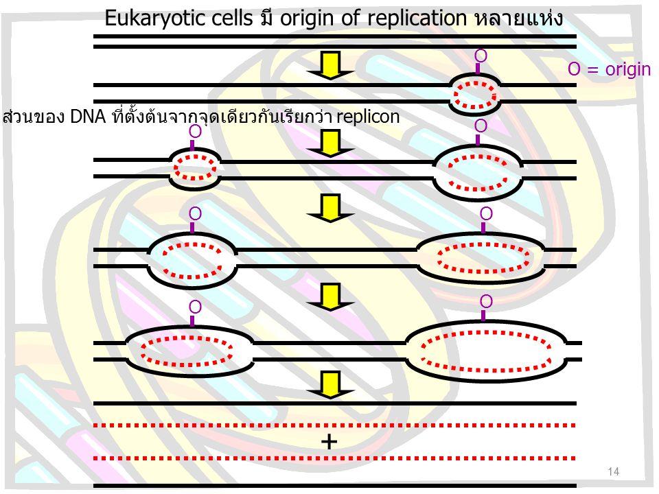 O O O O O O ส่วนของ DNA ที่ตั้งต้นจากจุดเดียวกันเรียกว่า replicon O + Eukaryotic cells มี origin of replication หลายแห่ง O = origin 14