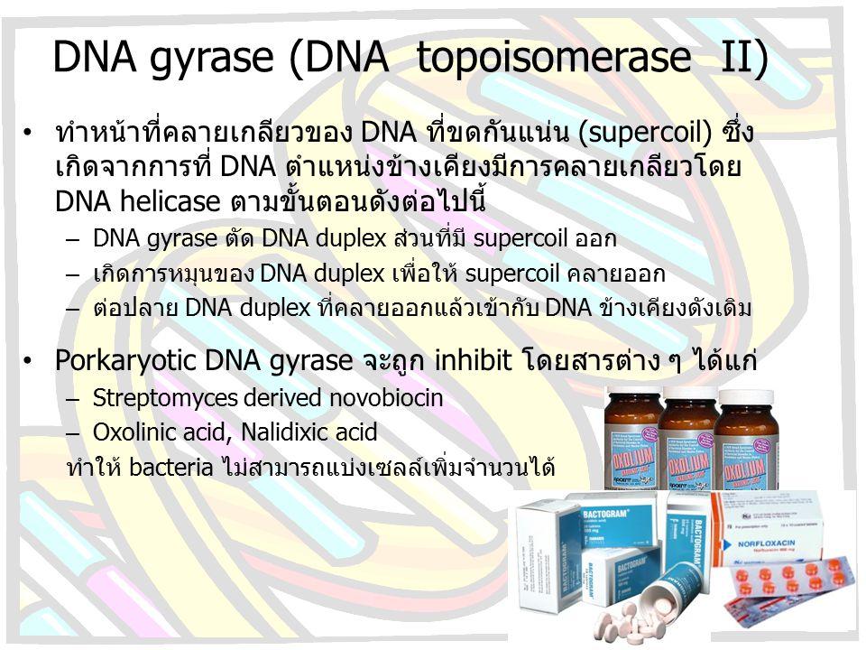 DNA gyrase (DNA topoisomerase II) ทำหน้าที่คลายเกลียวของ DNA ที่ขดกันแน่น (supercoil) ซึ่ง เกิดจากการที่ DNA ตำแหน่งข้างเคียงมีการคลายเกลียวโดย DNA he
