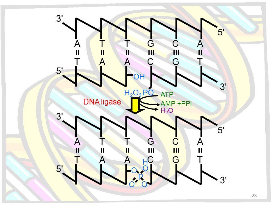 3'3' 3'3' 5'5' 5'5' A AA A T C C G GT TT 3'3' 3'3' 5'5' 5'5' A AA A T C C G GT TT OH H 2 O 3 PO O O OO P H DNA ligase ATP AMP +PPi H2OH2O 23