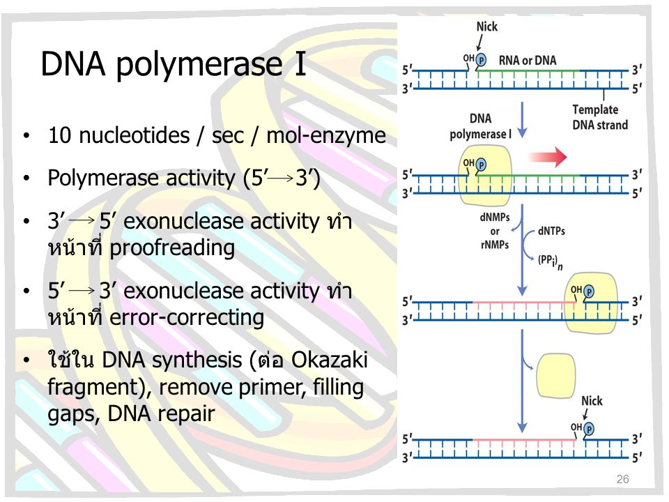 DNA polymerase I 10 nucleotides / sec / mol-enzyme Polymerase activity (5' 3') 3' 5' exonuclease activity ทำ หน้าที่ proofreading 5' 3' exonuclease ac
