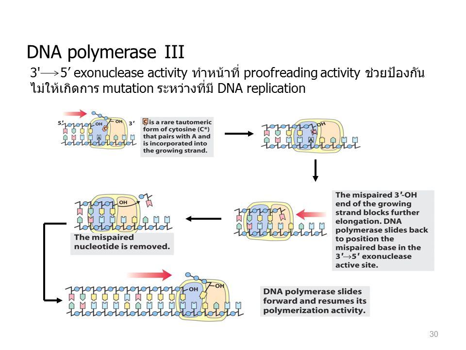 30 DNA polymerase III 3' 5' exonuclease activity ทำหน้าที่ proofreading activity ช่วยป้องกัน ไม่ให้เกิดการ mutation ระหว่างที่มี DNA replication