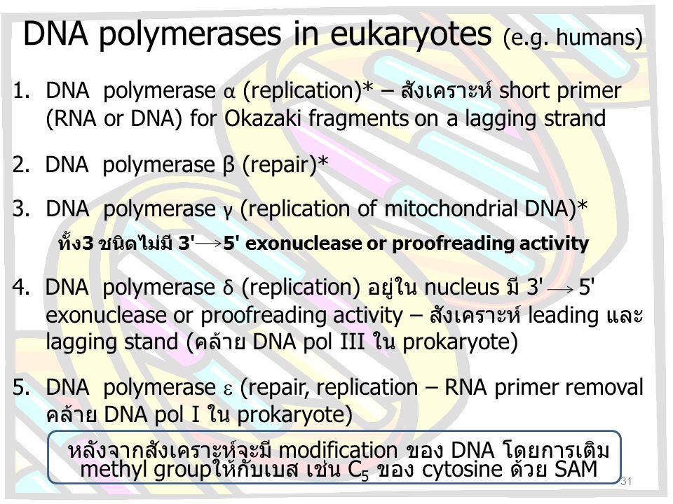 DNA polymerases in eukaryotes (e.g. humans) 1.DNA polymerase α (replication)* – สังเคราะห์ short primer (RNA or DNA) for Okazaki fragments on a laggin