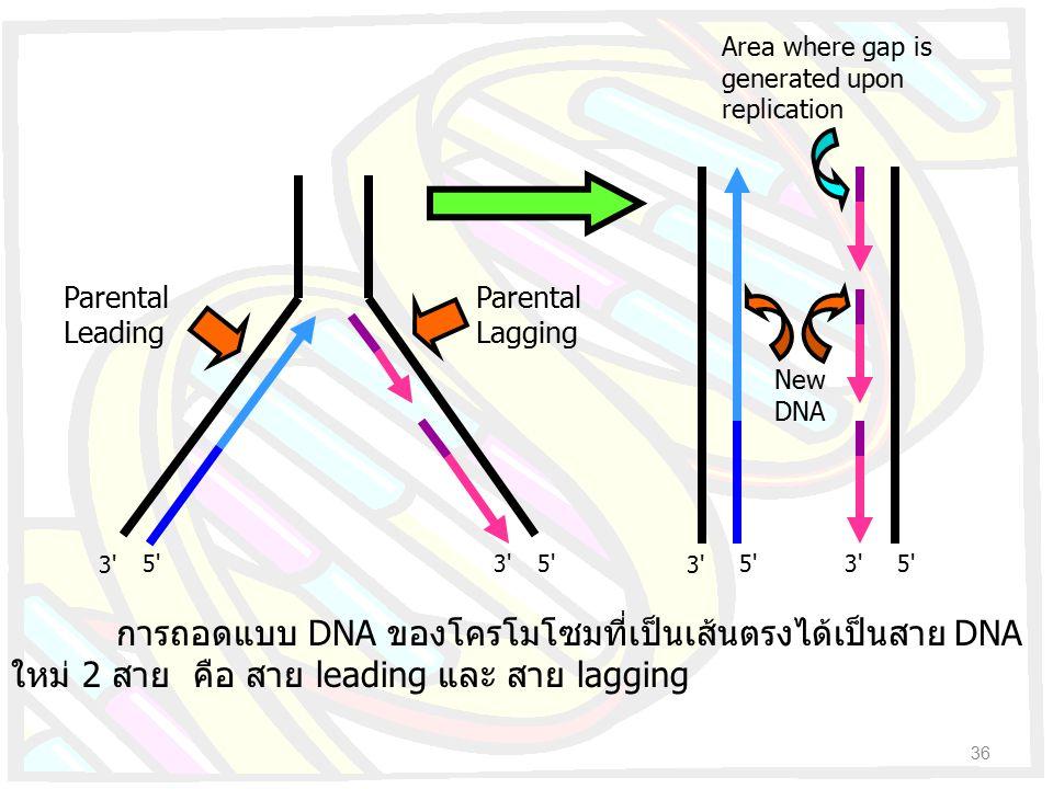 36 การถอดแบบ DNA ของโครโมโซมที่เป็นเส้นตรงได้เป็นสาย DNA ใหม่ 2 สาย คือ สาย leading และ สาย lagging 3' 5' Parental Leading Parental Lagging New DNA Ar
