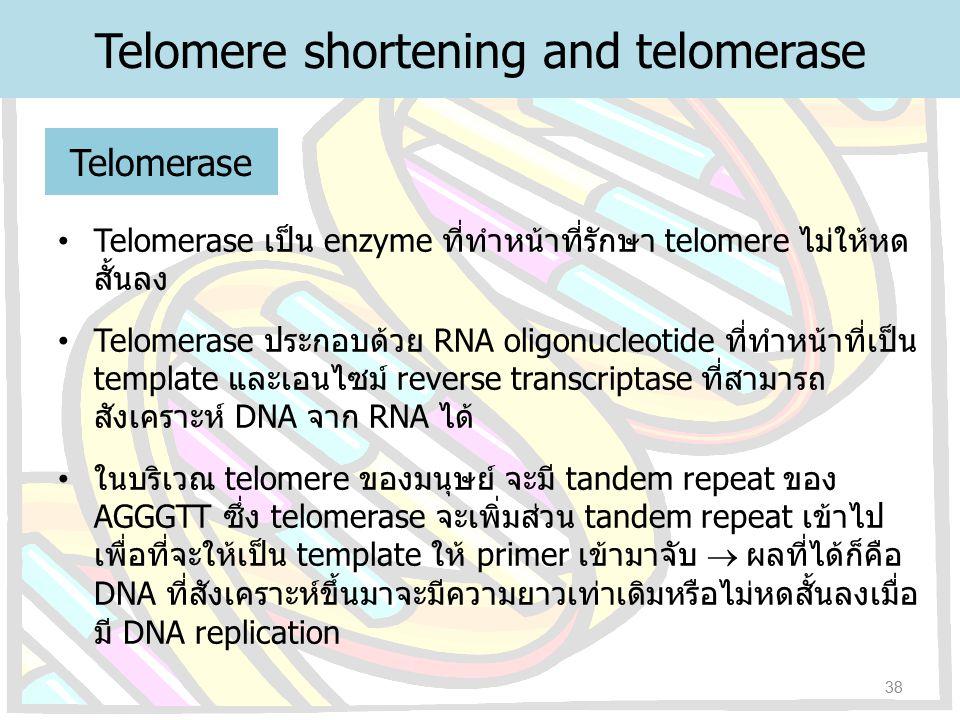 Telomerase เป็น enzyme ที่ทำหน้าที่รักษา telomere ไม่ให้หด สั้นลง Telomerase ประกอบด้วย RNA oligonucleotide ที่ทำหน้าที่เป็น template และเอนไซม์ rever