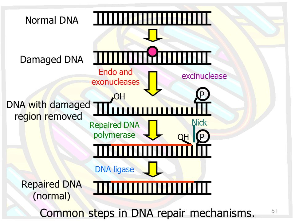 OH P P Normal DNA Damaged DNA DNA with damaged region removed Repaired DNA (normal) Endo and exonucleases Repaired DNA polymerase DNA ligase Common st