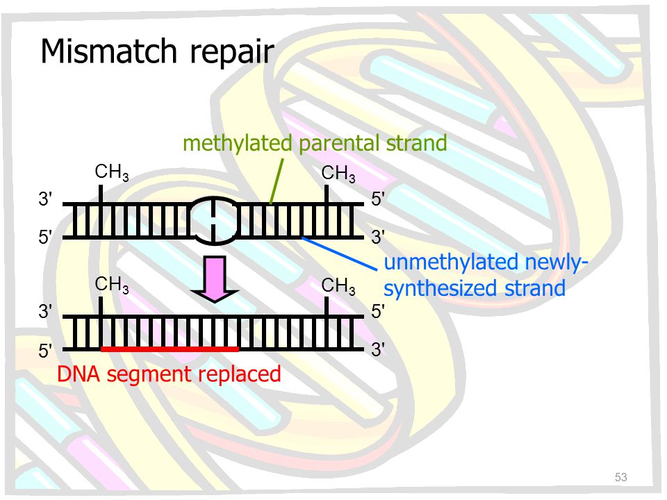 CH 3 3'3' 5'5' 5'5' 5'5' 5'5' 3'3' 3'3' 3'3' methylated parental strand unmethylated newly- synthesized strand DNA segment replaced Mismatch repair 53