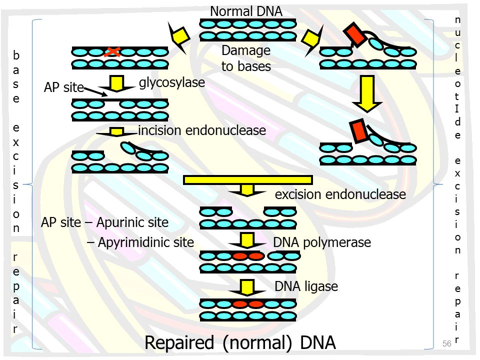 Repaired (normal) DNA Normal DNA Damage to bases glycosylase incision endonuclease excision endonuclease DNA polymerase DNA ligase AP site base excisi