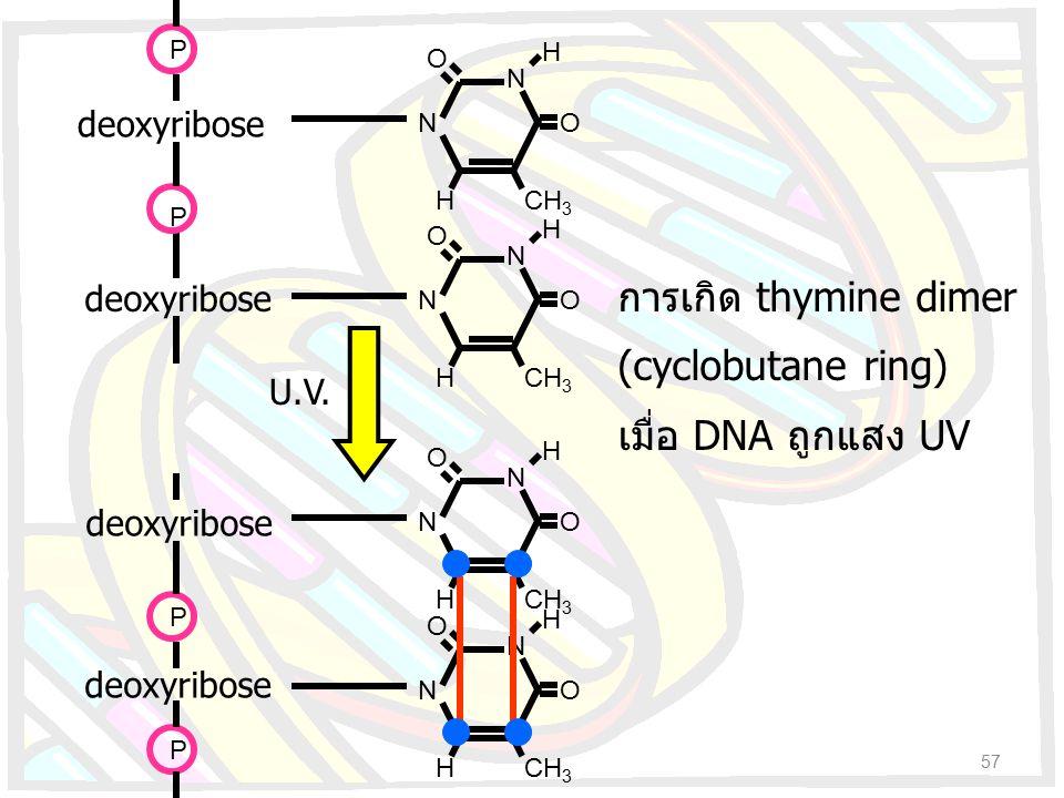 N N O O HCH 3 H deoxyribose P N N O O HCH 3 H deoxyribose P N N O O HCH 3 H deoxyribose N N O O HCH 3 H deoxyribose P P U.V. การเกิด thymine dimer (cy