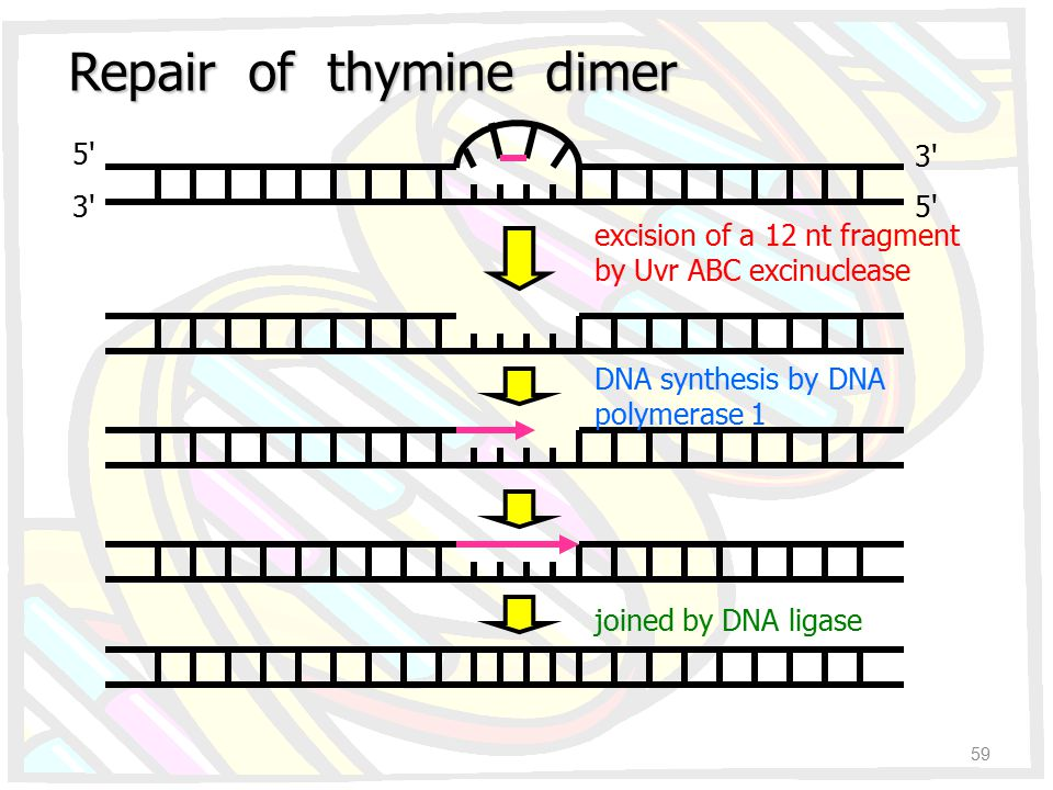 Repair of thymine dimer 5' 3' 5' excision of a 12 nt fragment by Uvr ABC excinuclease DNA synthesis by DNA polymerase 1 joined by DNA ligase 59