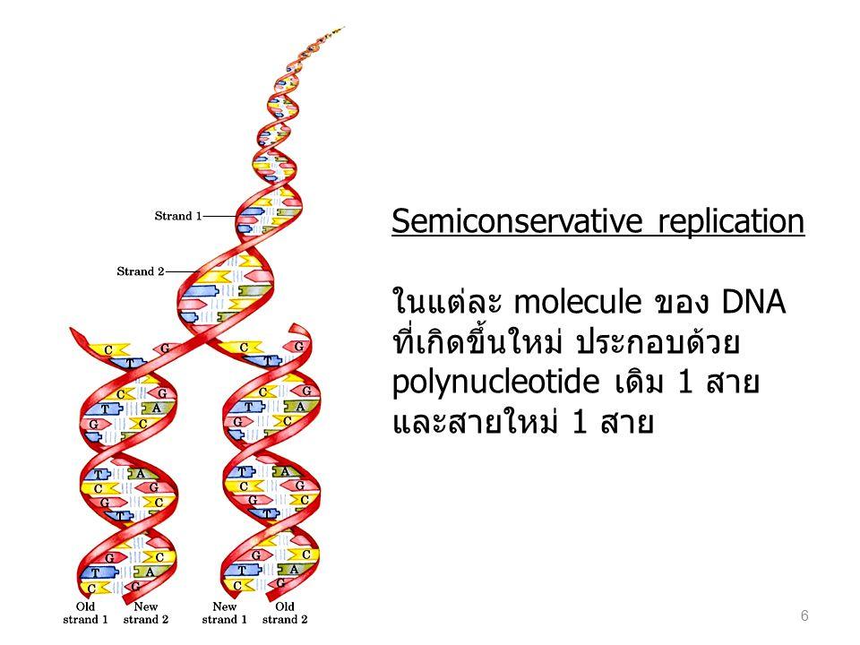 Semiconservative replication ในแต่ละ molecule ของ DNA ที่เกิดขึ้นใหม่ ประกอบด้วย polynucleotide เดิม 1 สาย และสายใหม่ 1 สาย 6