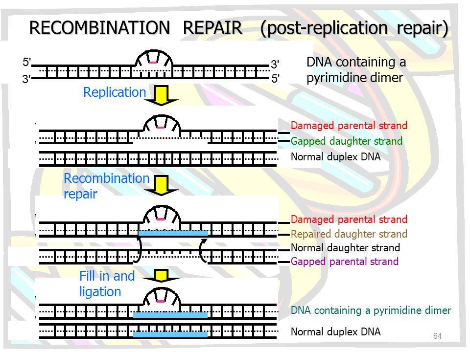 RECOMBINATION REPAIR (post-replication repair) Replication Recombination repair Fill in and ligation DNA containing a pyrimidine dimer Damaged parenta