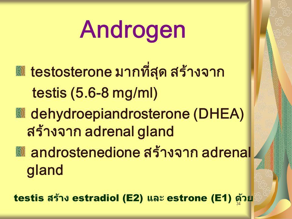 34 Androgen testosterone มากที่สุด สร้างจาก testis (5.6-8 mg/ml) dehydroepiandrosterone (DHEA) สร้างจาก adrenal gland androstenedione สร้างจาก adrenal