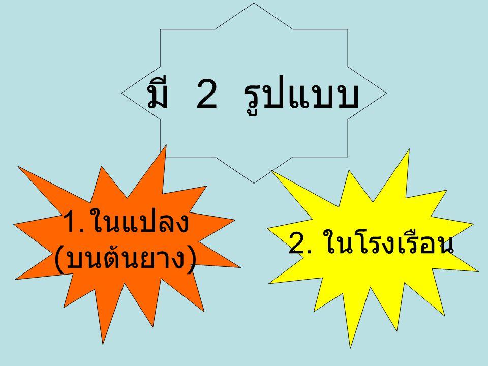 มี 2 รูปแบบ 1. ในแปลง ( บนต้นยาง ) 2. ในโรงเรือน