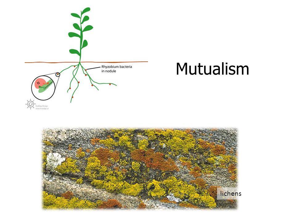 Mutualism lichens