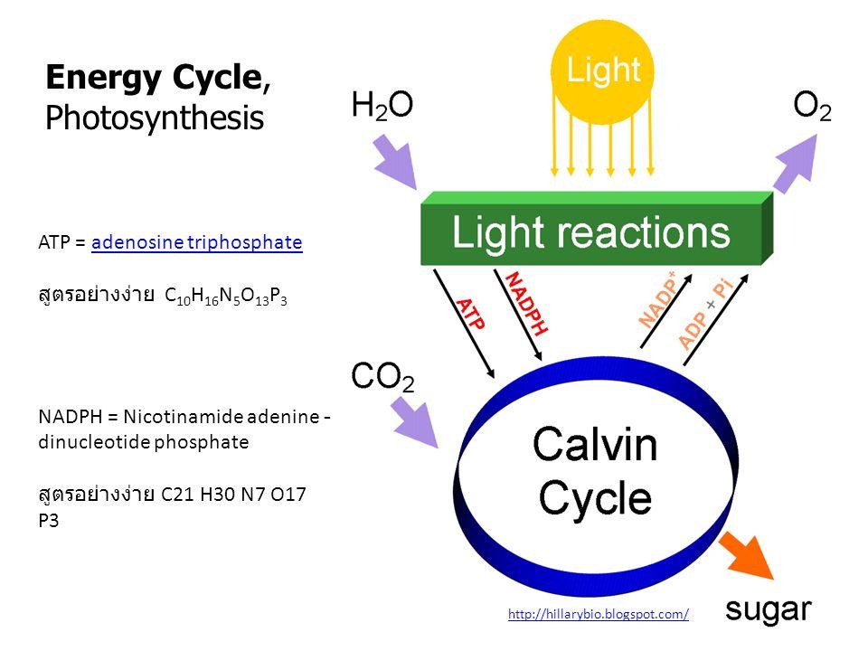 Energy Cycle, Photosynthesis http://hillarybio.blogspot.com/ ATP = adenosine triphosphateadenosine triphosphate สูตรอย่างง่าย C 10 H 16 N 5 O 13 P 3 NADPH = Nicotinamide adenine - dinucleotide phosphate สูตรอย่างง่าย C21 H30 N7 O17 P3
