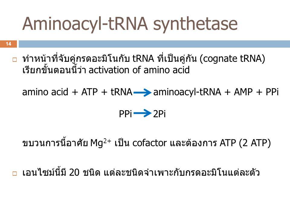 Aminoacyl-tRNA synthetase  ทำหน้าที่จับคู่กรดอะมิโนกับ tRNA ที่เป็นคู่กัน (cognate tRNA) เรียกขั้นตอนนี้ว่า activation of amino acid amino acid + ATP