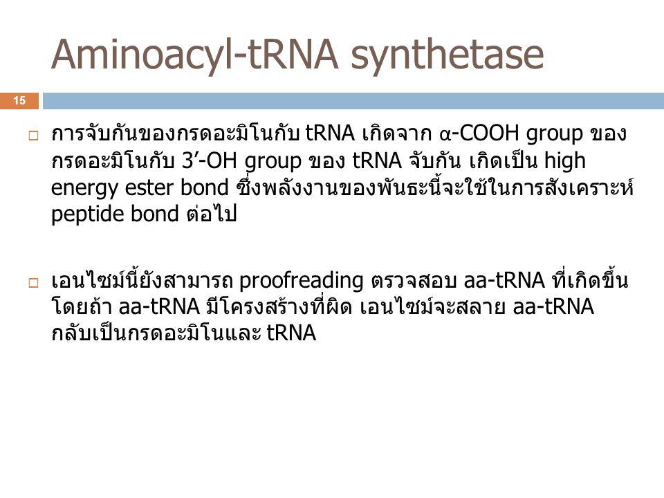 Aminoacyl-tRNA synthetase  การจับกันของกรดอะมิโนกับ tRNA เกิดจาก α -COOH group ของ กรดอะมิโนกับ 3'-OH group ของ tRNA จับกัน เกิดเป็น high energy este