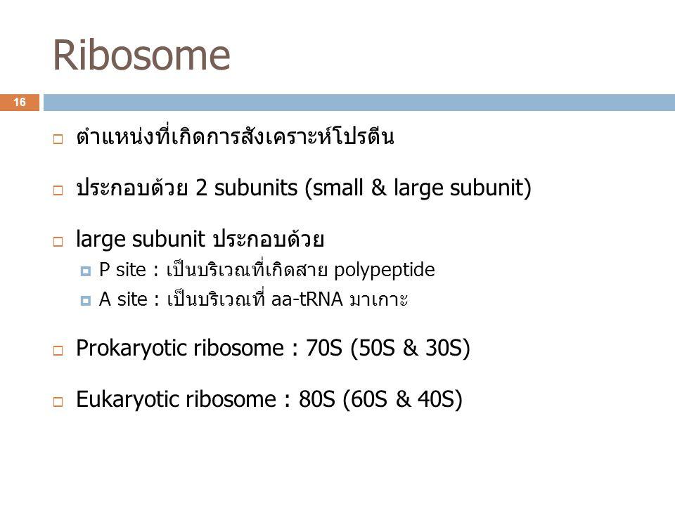 Ribosome  ตำแหน่งที่เกิดการสังเคราะห์โปรตีน  ประกอบด้วย 2 subunits (small & large subunit)  large subunit ประกอบด้วย  P site : เป็นบริเวณที่เกิดสา
