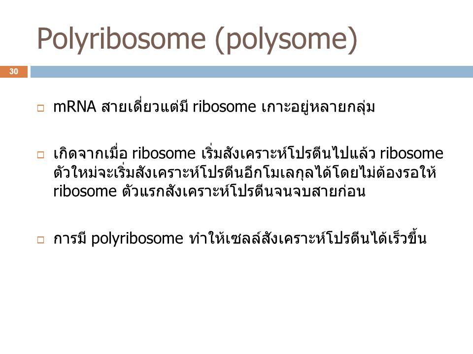 Polyribosome (polysome)  mRNA สายเดี่ยวแต่มี ribosome เกาะอยู่หลายกลุ่ม  เกิดจากเมื่อ ribosome เริ่มสังเคราะห์โปรตีนไปแล้ว ribosome ตัวใหม่จะเริ่มสั