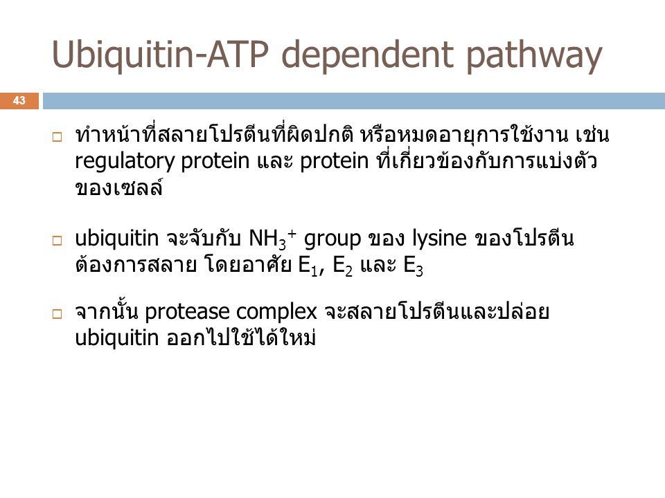 Ubiquitin-ATP dependent pathway  ทำหน้าที่สลายโปรตีนที่ผิดปกติ หรือหมดอายุการใช้งาน เช่น regulatory protein และ protein ที่เกี่ยวข้องกับการแบ่งตัว ขอ