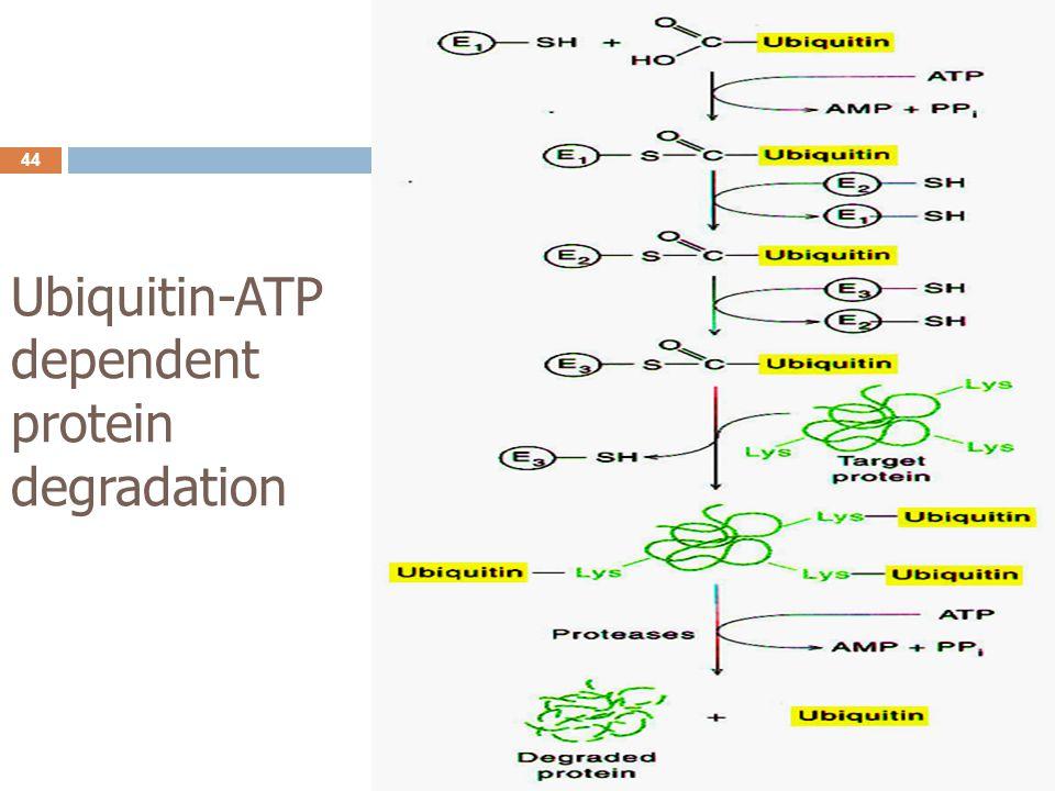 Ubiquitin-ATP dependent protein degradation 44
