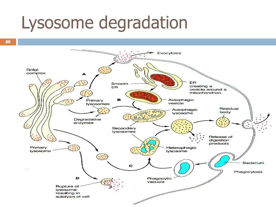 Lysosome degradation 46