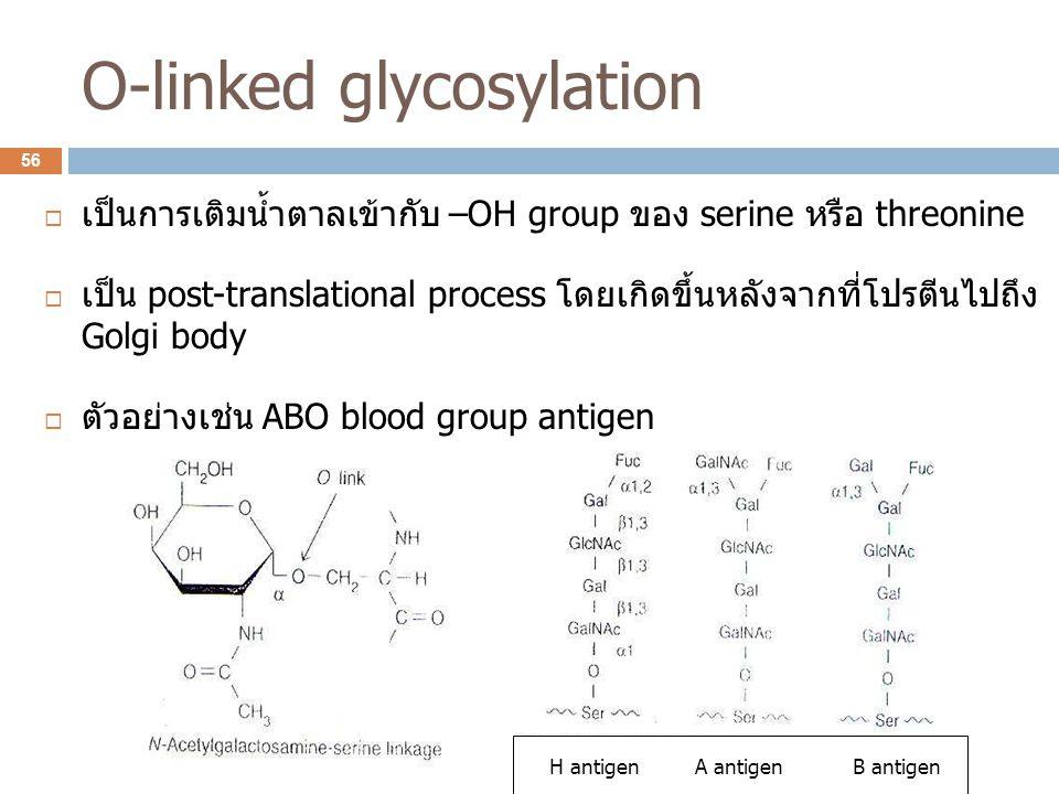 H antigen A antigen B antigen O-linked glycosylation  เป็นการเติมน้ำตาลเข้ากับ –OH group ของ serine หรือ threonine  เป็น post-translational process