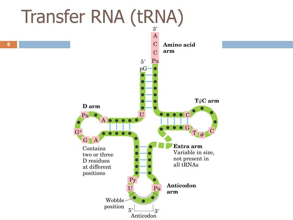 Wobble position  Wobble position (base) คือ เบสที่อยู่ตำแหน่ง 3' ของ codon และเบสตำแหน่ง 5' ของ anticodon ซึ่งโดยทั่วไป การจับคู่กัน ของเบสคู่นี้อาจไม่เป็นไปตามกฎทั่วไปของการจับคู่  การมี wobble base ทำให้ tRNA 1 ชนิด จับกับ codon ของ mRNA ได้มากกว่า 1 codon 5' base of anticodon3' base of codon CAUGICAUGI G U A or G C or U U or C or A 7