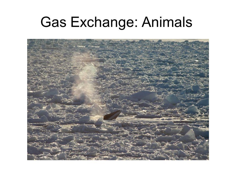 Gas Exchange: Animals