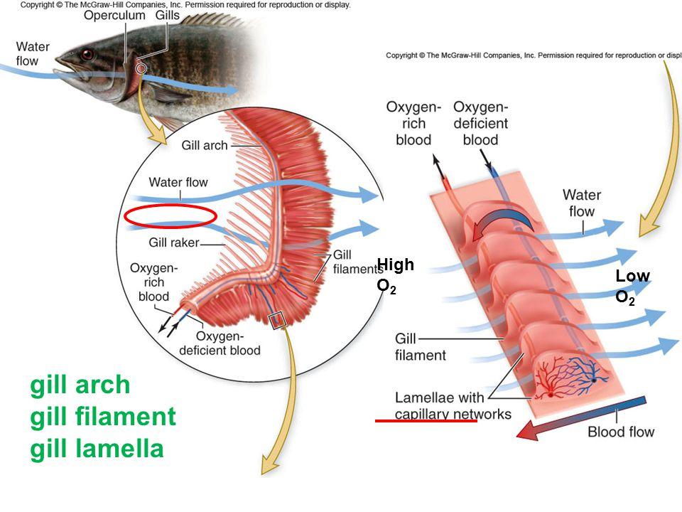 High O 2 Low O 2 gill arch gill filament gill lamella