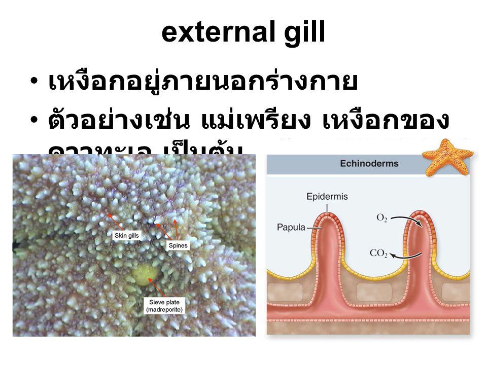 external gill เหงือกอยู่ภายนอกร่างกาย ตัวอย่างเช่น แม่เพรียง เหงือกของ ดาวทะเล เป็นต้น