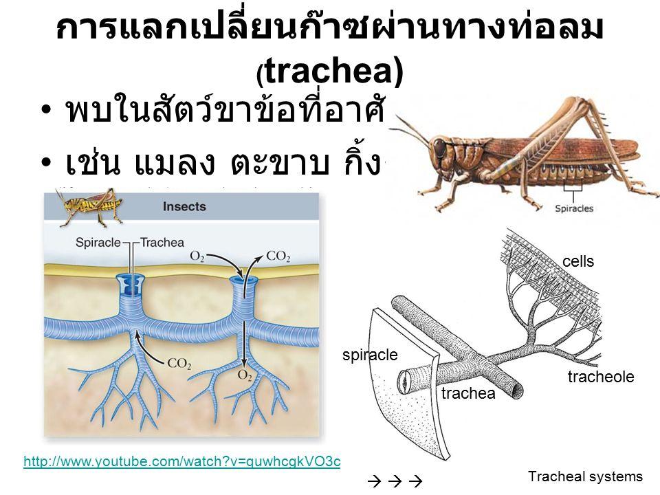 การแลกเปลี่ยนก๊าซผ่านทางท่อลม ( trachea) พบในสัตว์ขาข้อที่อาศัยอยู่บนบก เช่น แมลง ตะขาบ กิ้งกือ เป็นต้น      spiracle trachea tracheole cells Tr