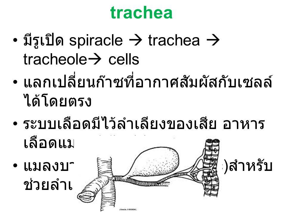 มีรูเปิด spiracle  trachea  tracheole  cells แลกเปลี่ยนก๊าซที่อากาศสัมผัสกับเซลล์ ได้โดยตรง ระบบเลือดมีไว้ลำเลียงของเสีย อาหาร เลือดแมลงจึงไม่มีสี