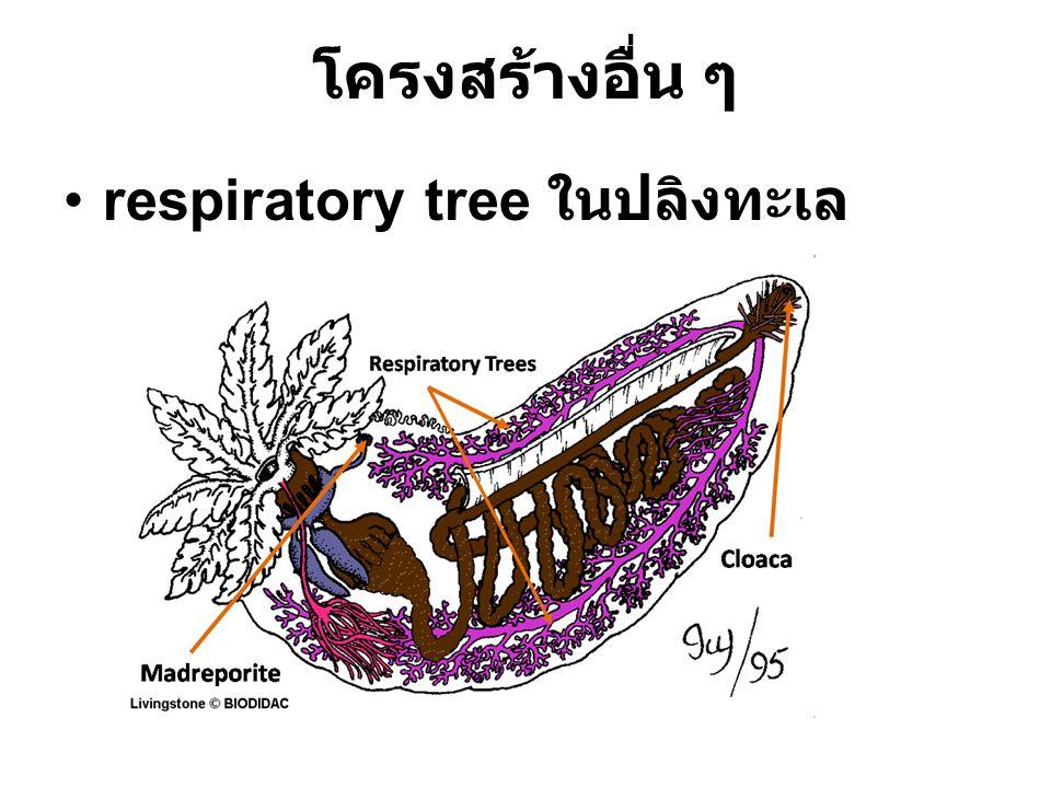 โครงสร้างอื่น ๆ respiratory tree ในปลิงทะเล